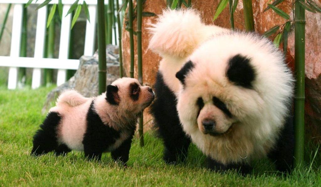 Чау чау панда