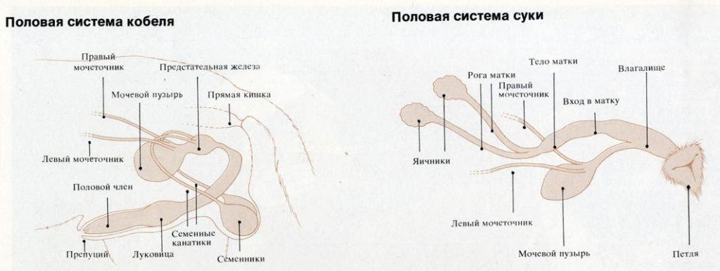 Половые органы у собак: вагина и половой член