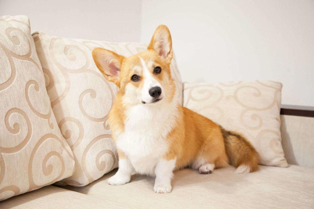 Описание породы и характер собак вельш корги кардиган и пемброк