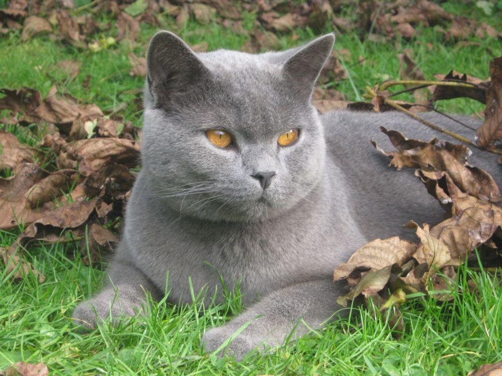Кот сплошного окраса