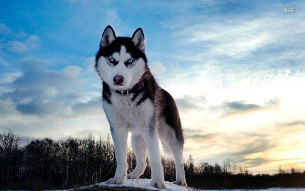 Порода хаски – собака с уникальной красивой внешностью и мечта многих