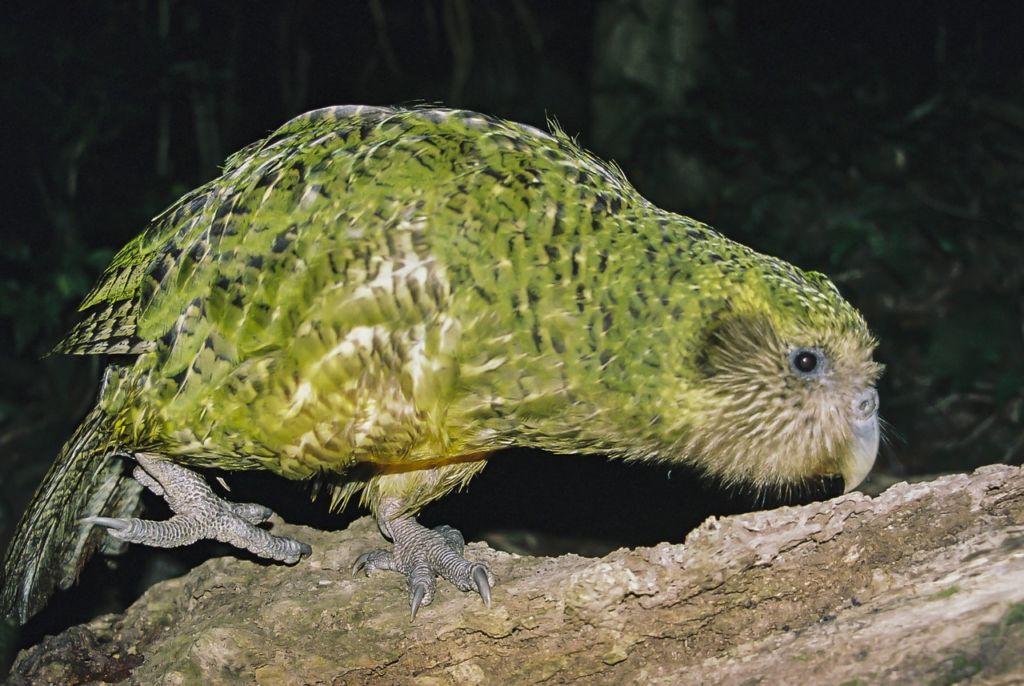 Что такое какапо и где обитает совиный попугай