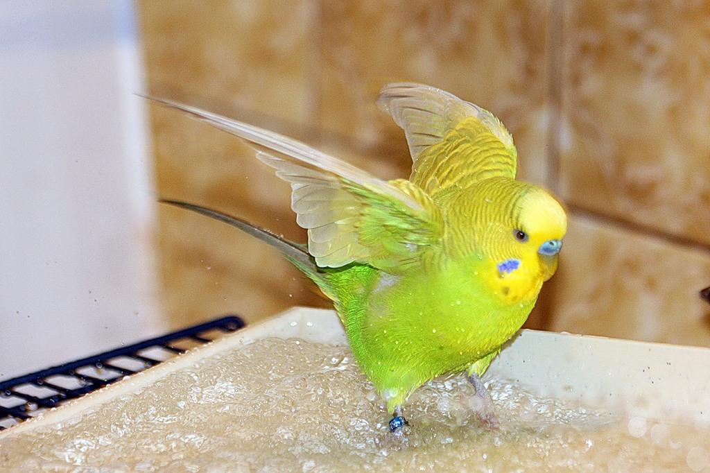 Вода должна быть чистой, так как птица, скорее всего, будет её пить