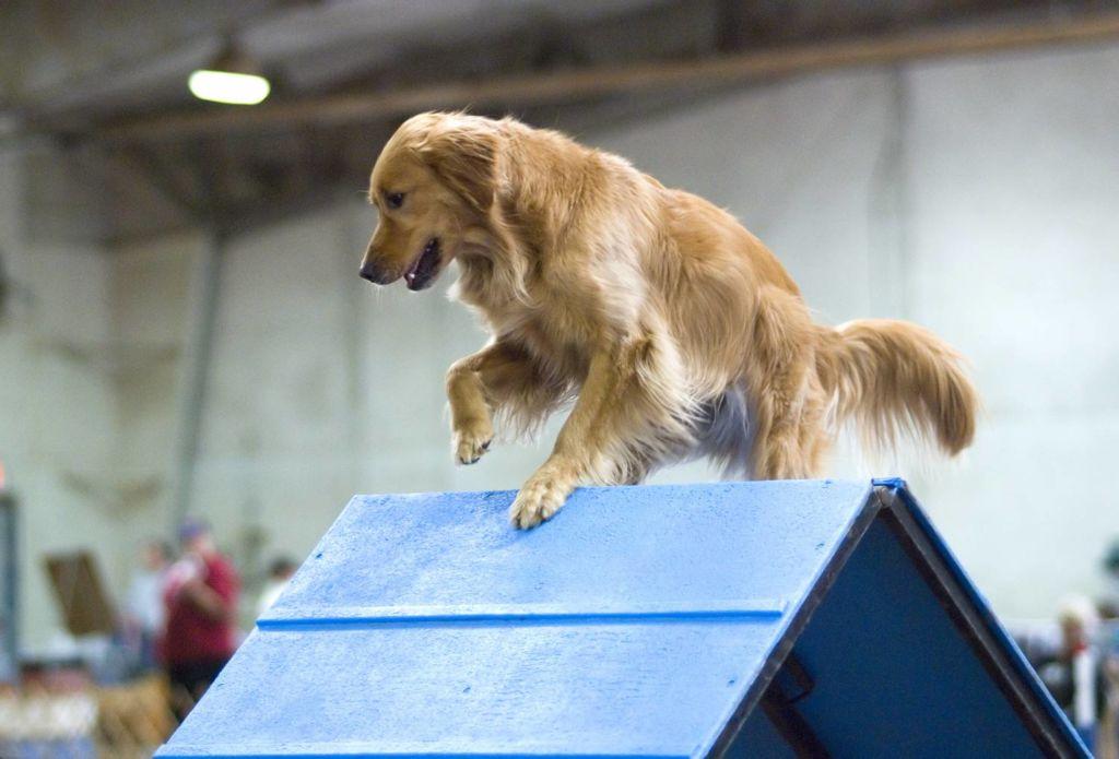 Что это такое аджилити для собак и правила тренировок