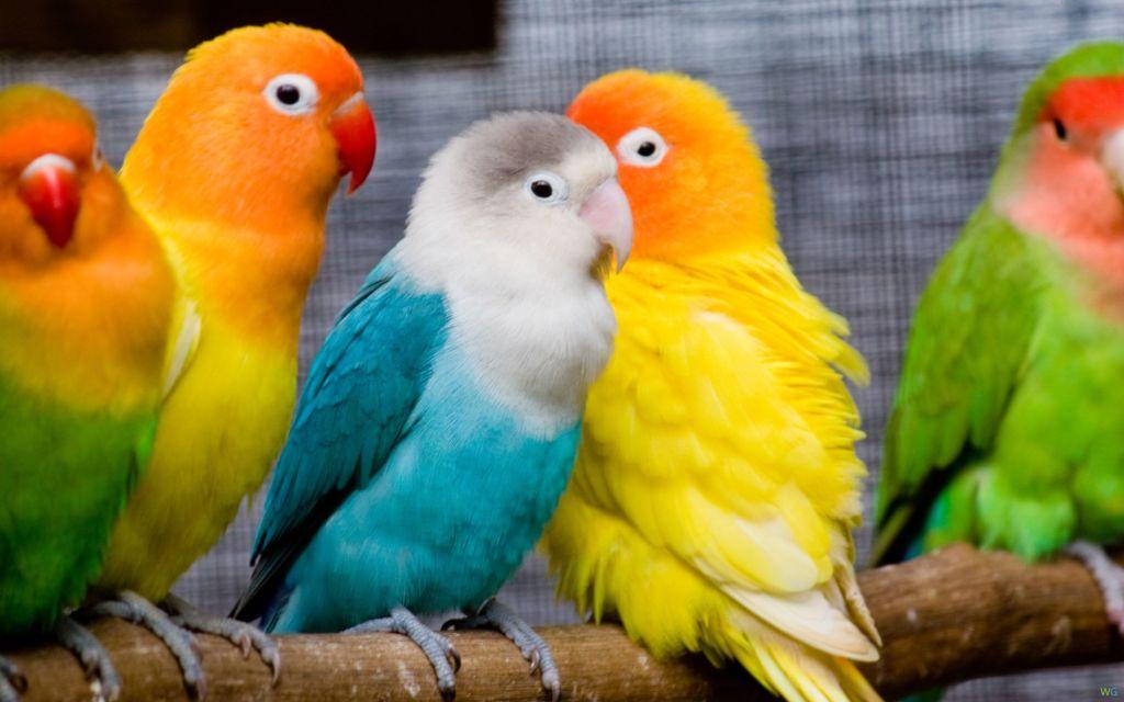 11 популярных видов попугаев маленького, среднего и большого размера