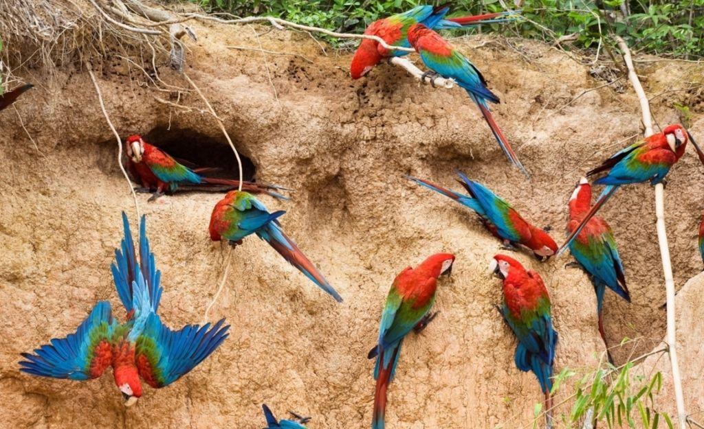 Ара - стайные птицы, но при этом пару они выбирают себе одну и на долгие годы