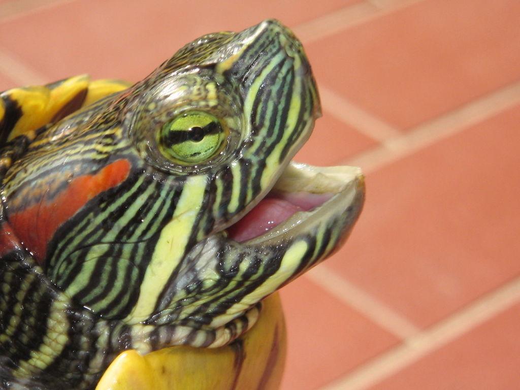 Симптомы развивающейся пневмонии у красноухих черепах проявляются в несколько этапов