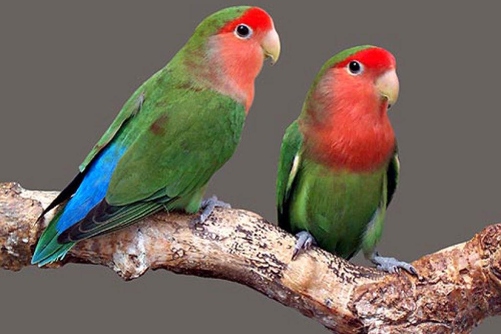 Правильный уход за попугаями неразлучниками и их содержание