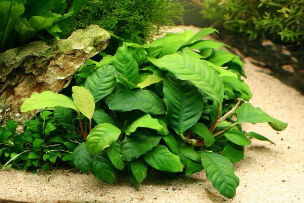 АнуАбиас нана – красивые зеленые аквариумные растения рода Anubias