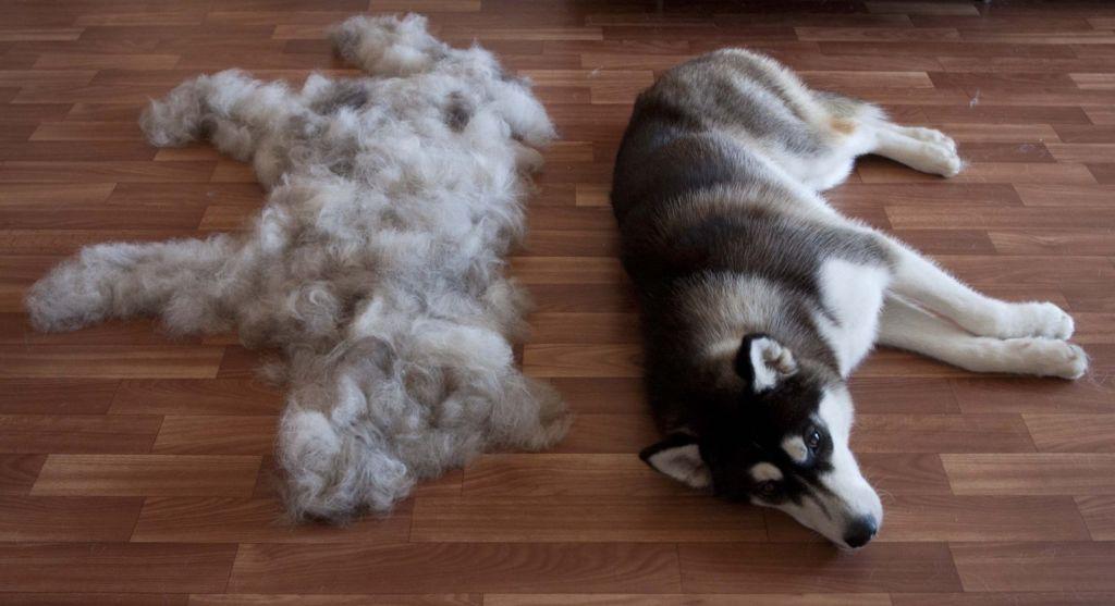 4 варианта что делать, если собака сильно линяет