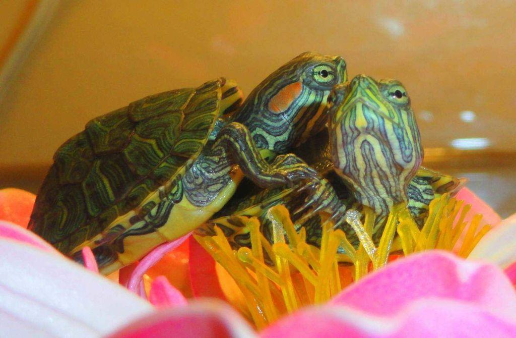 Отит водных черепах связан с гиповитаминозом А