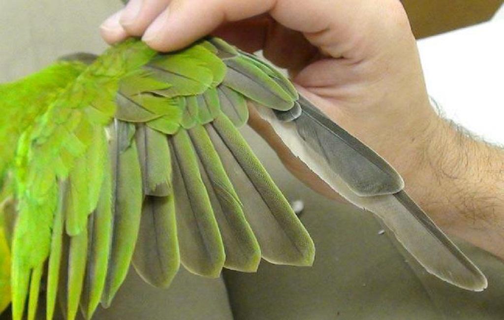 4 причины, почему у попугая выпадают перья и советы, что делать