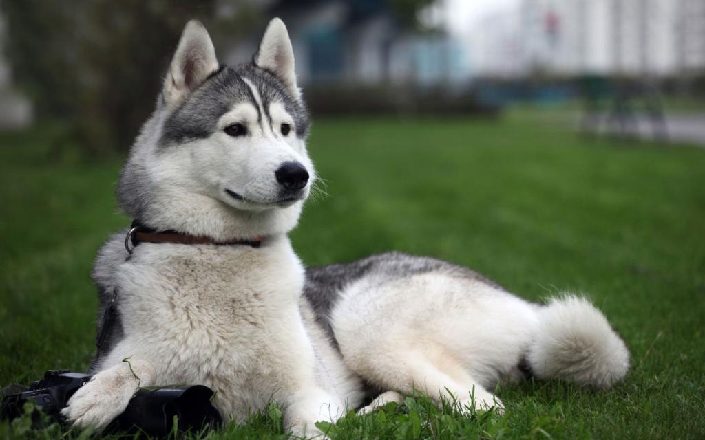 Как и чем правильно кормить породу собак хаски