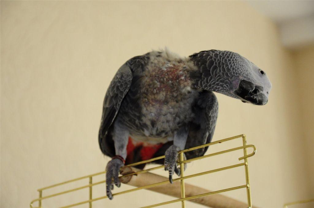 Выпадение перьев у попугая жако