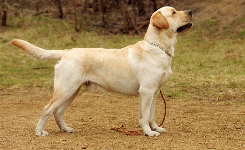 Подробное описание и характеристика породы собак лабрадор ретривер