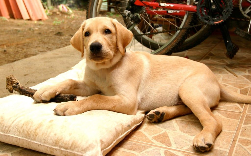 Собака такого размера и экстерьера нуждается в правильном питании, насыщенном витаминами