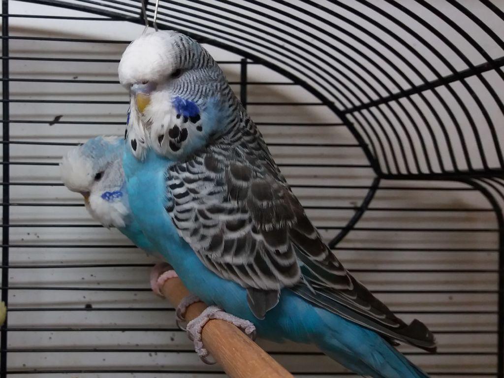 При выборе следует обращать внимание на поведение птенца
