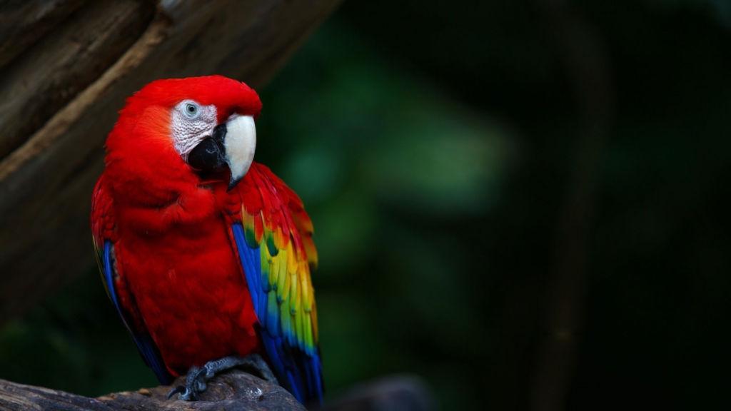 Ара - самые рослые, шумные и великолепно окрашенные попугаи