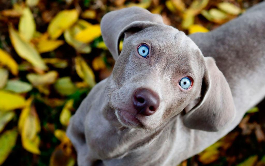 Собаки различают желтый и синий цвета, но интенсивность их восприятия ниже, чем у людей