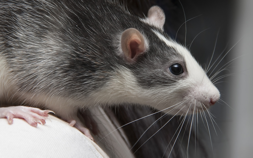 4 вида крыс дамбо, уход за ними и содержание