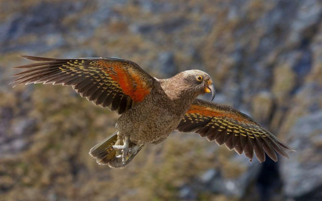 Звуки, которые издают эти попугаи очень похожи на протяжное кеееаа