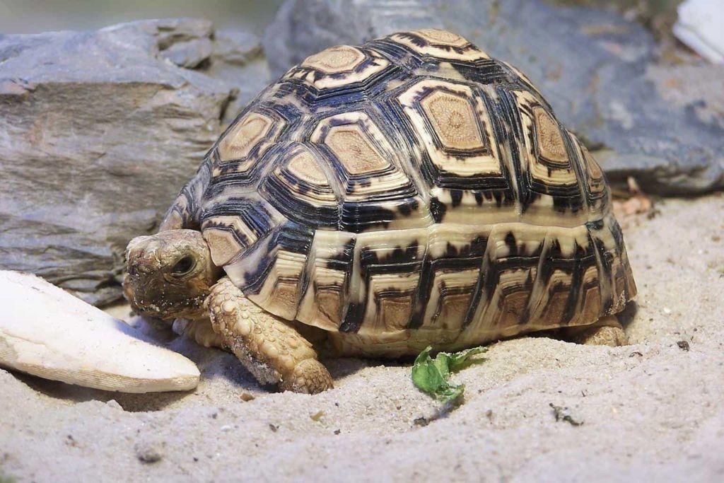 Как правильно ухаживать за сухопутной черепахой в домашних условиях
