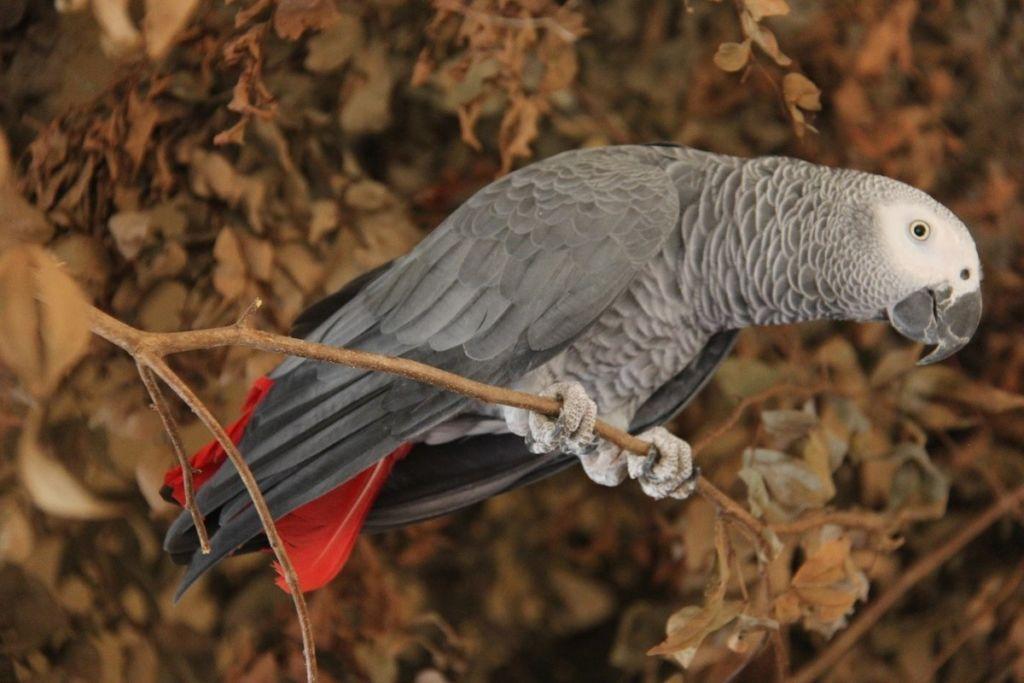 Африканский попугай Жако