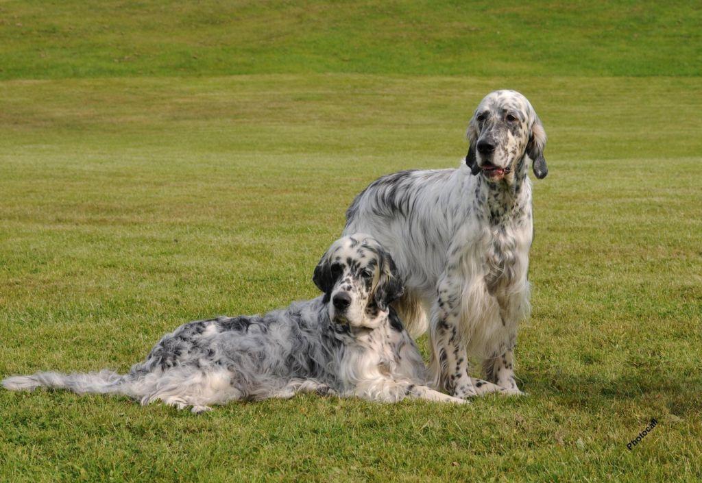 16 лучших английских или британских пород собак