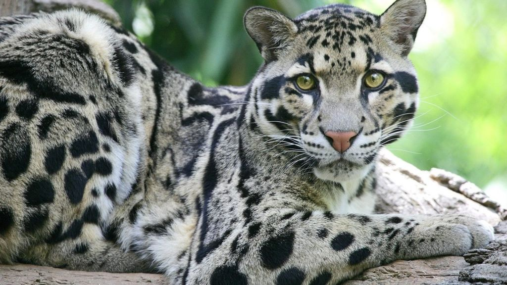 Дымчатый леопард считается пусть не прямым потомком, но самым близких родственником смилодона