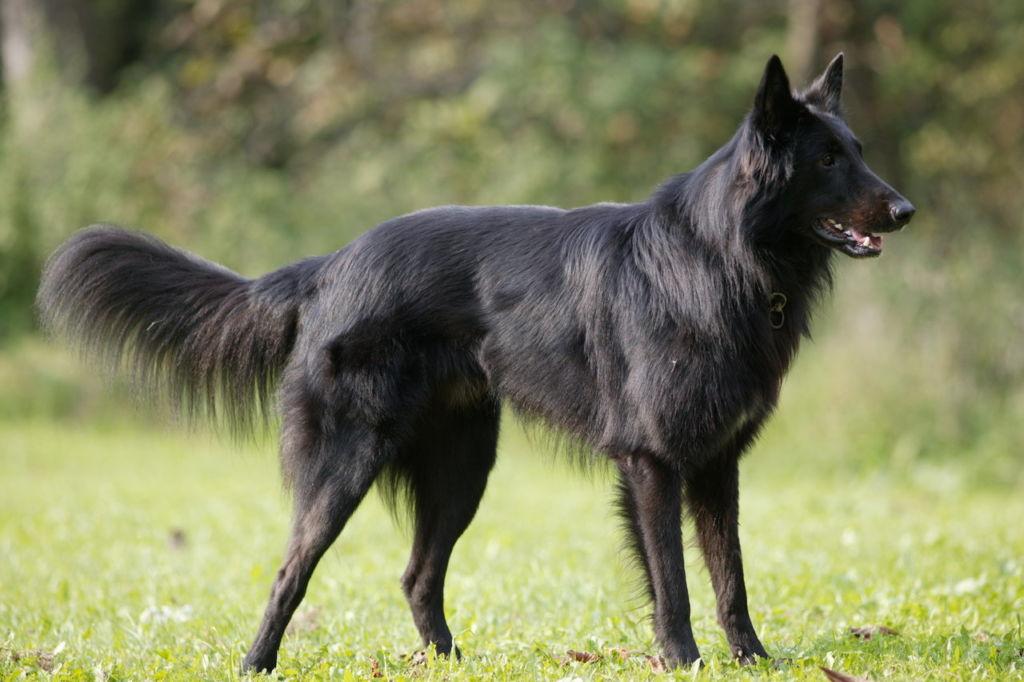 12 лучших сторожевых пород собак