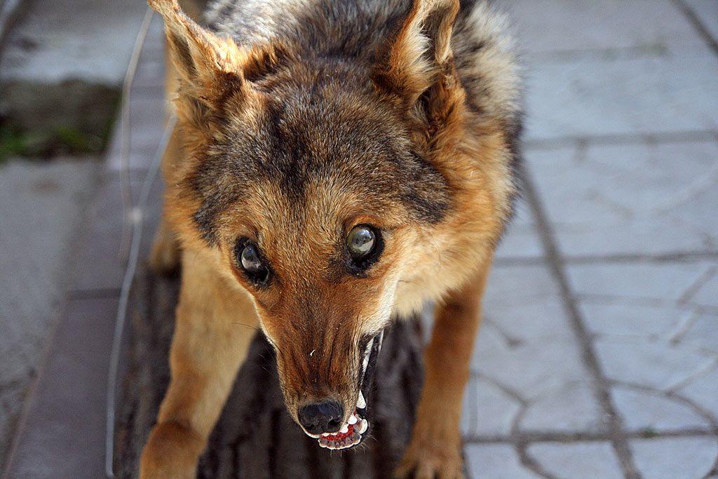 Симптомы и признаки бешенства у животных