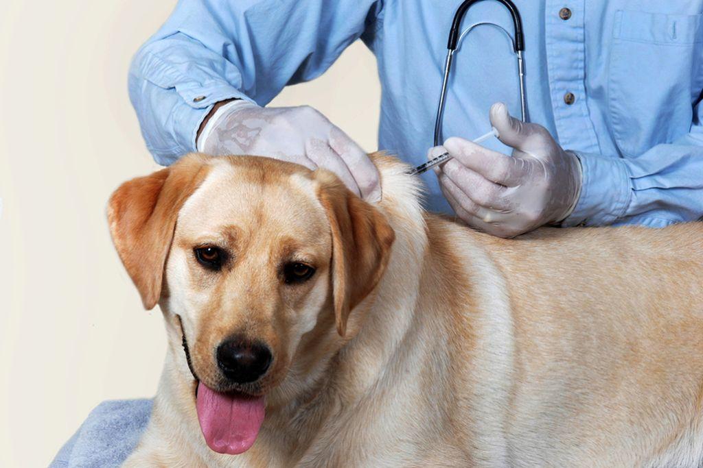 Вакцина от бешенства ставится профилактически раз в год всем домашним животным