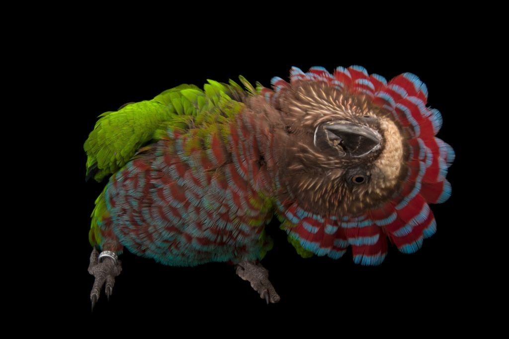 Веерный попугай - это название получил из-за своего прекрасного роскошного воротника