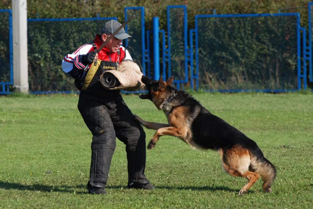 Важно много времени посвящать дрессировкам, чтобы собака даже в порыве ярости слушалась своего хозяина