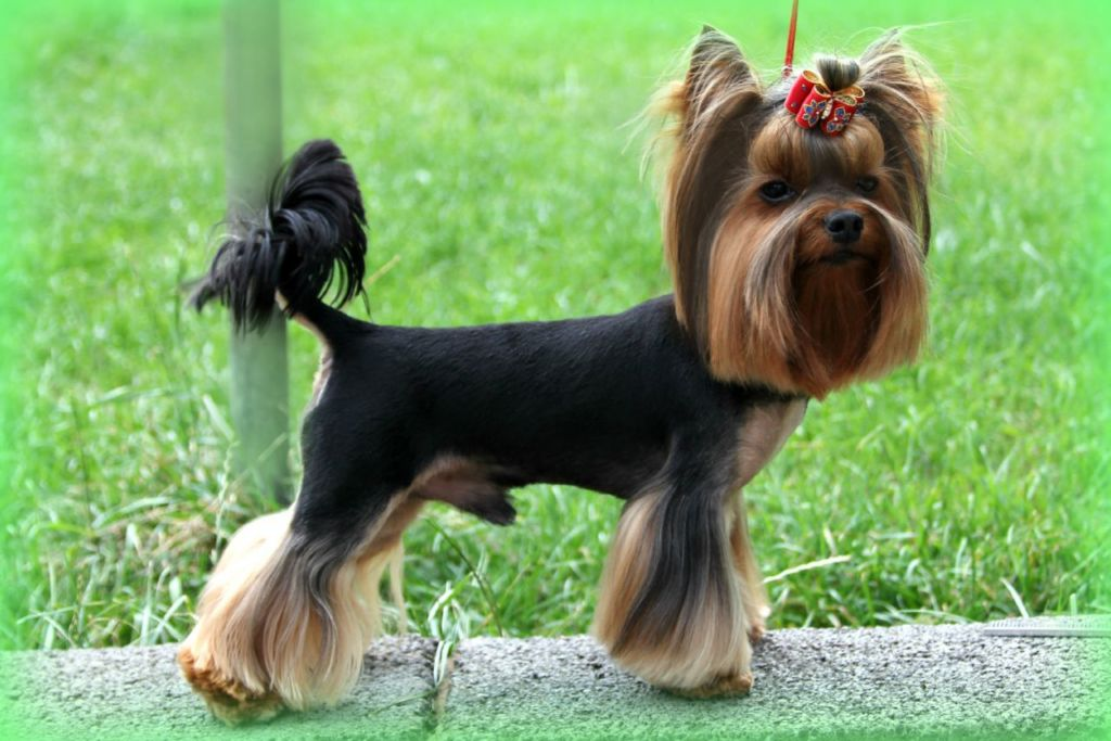 Подробное описание породы собак йоркширский терьер
