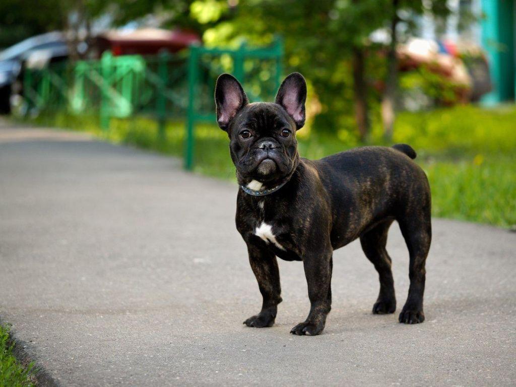 Подробное описание породы собак  французский бульдог