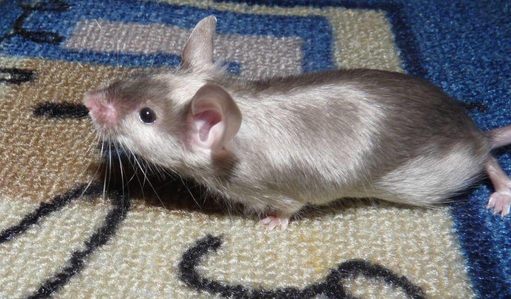Сатиновая крыса