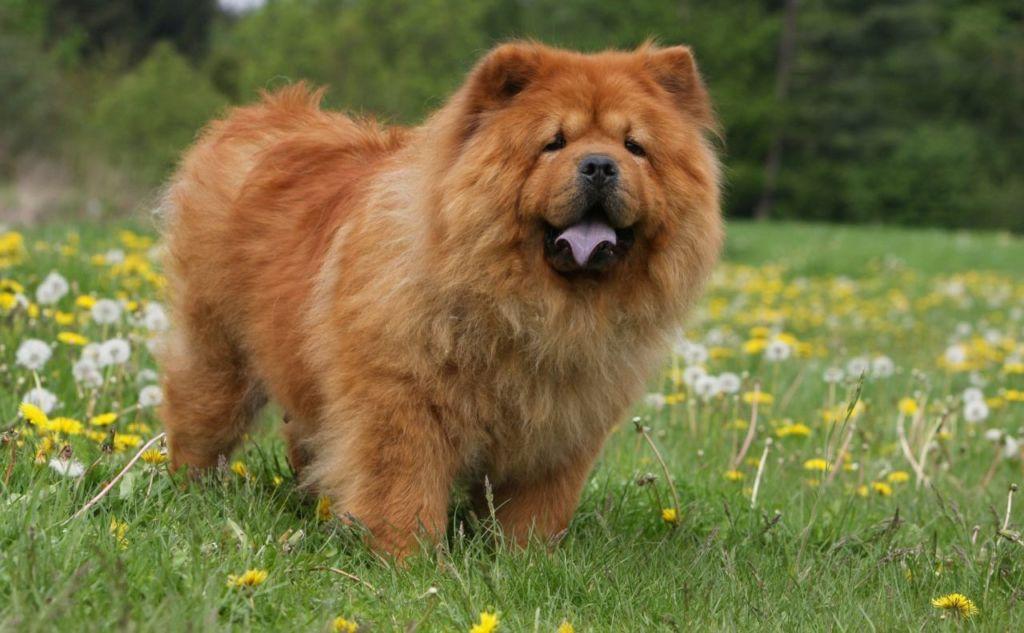 11 самых злых пород собак в мире