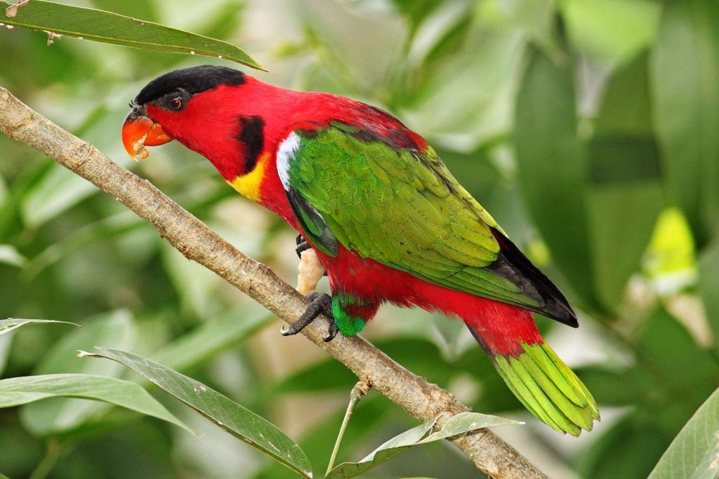 Зеленохвостый широкохвостый лори - привлекательная и красочная птица из австралийского региона