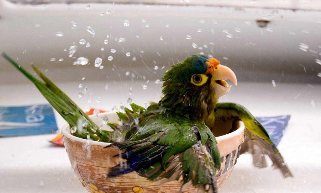 Причин объясняющих выпадение перьев у попугаев и их последующее облысение – несколько