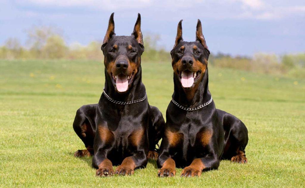 Подробное описание и характеристика породы собак доберман пинчер