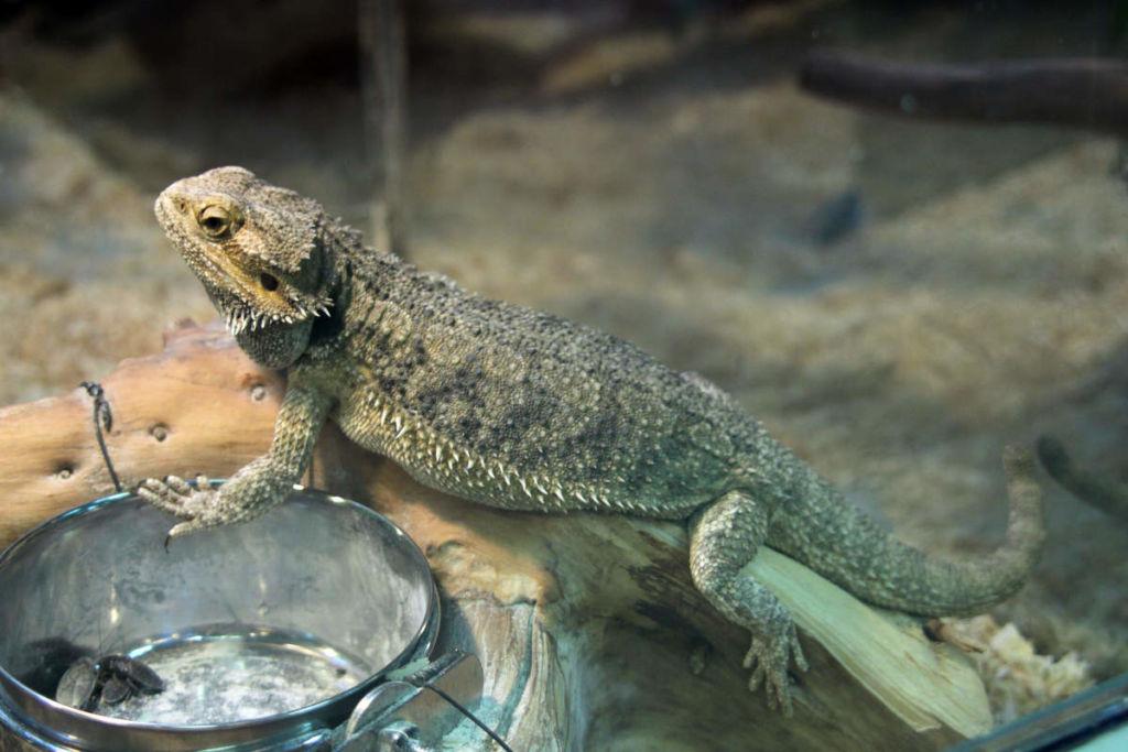 5 популярных видов домашних ящериц с фото и описанием