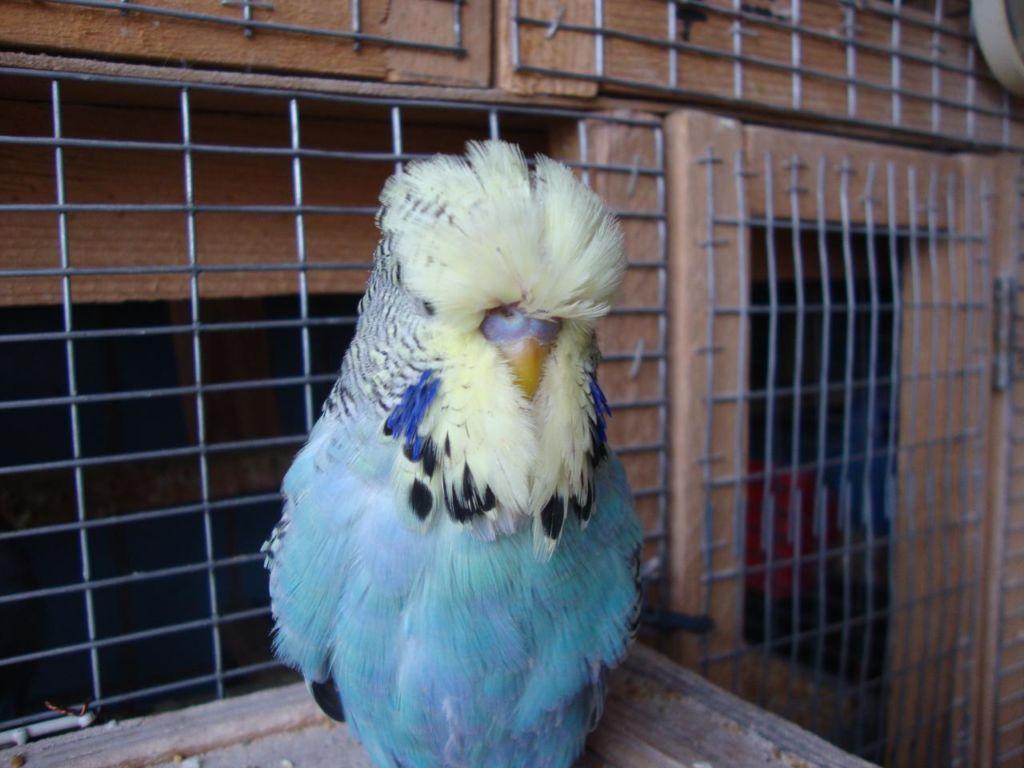 Чех - это тот же волнистый попугайчик, только немного «тюнингованный»