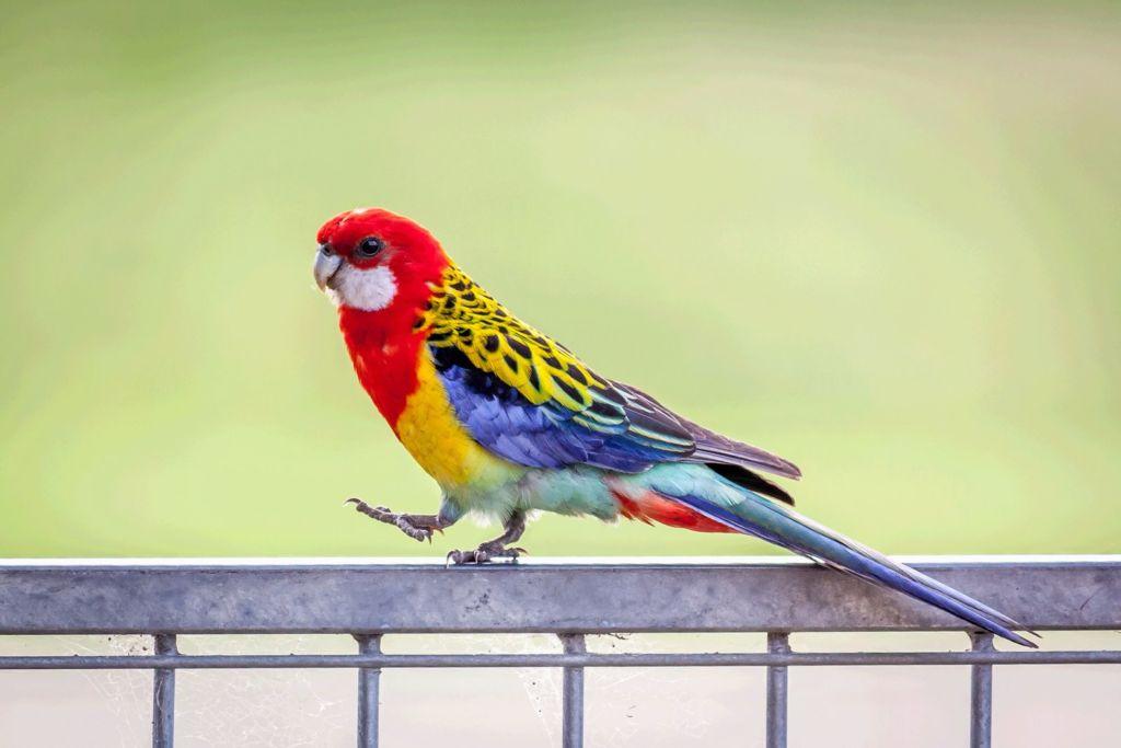 При правильном обучении попугаи способны напевать песенки