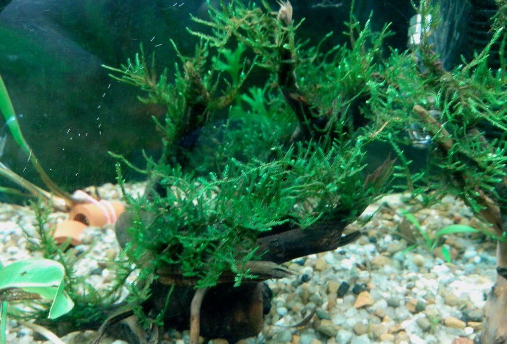 Распространённое декоративное аквариумное растение