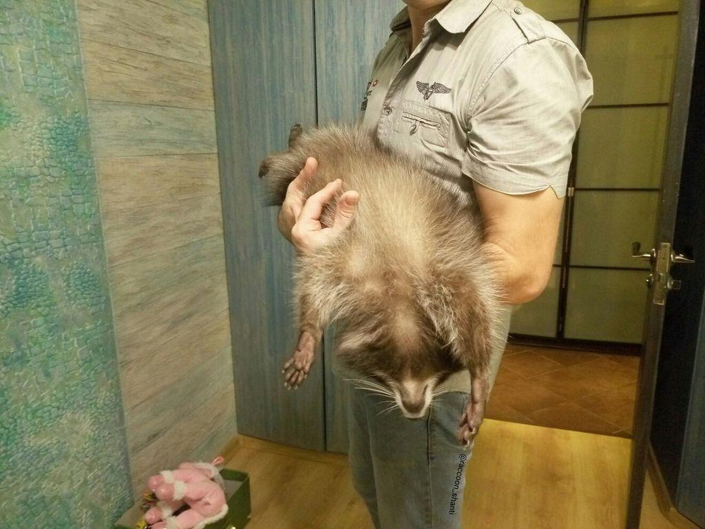 При сильной опасности енот может притвориться мёртвым