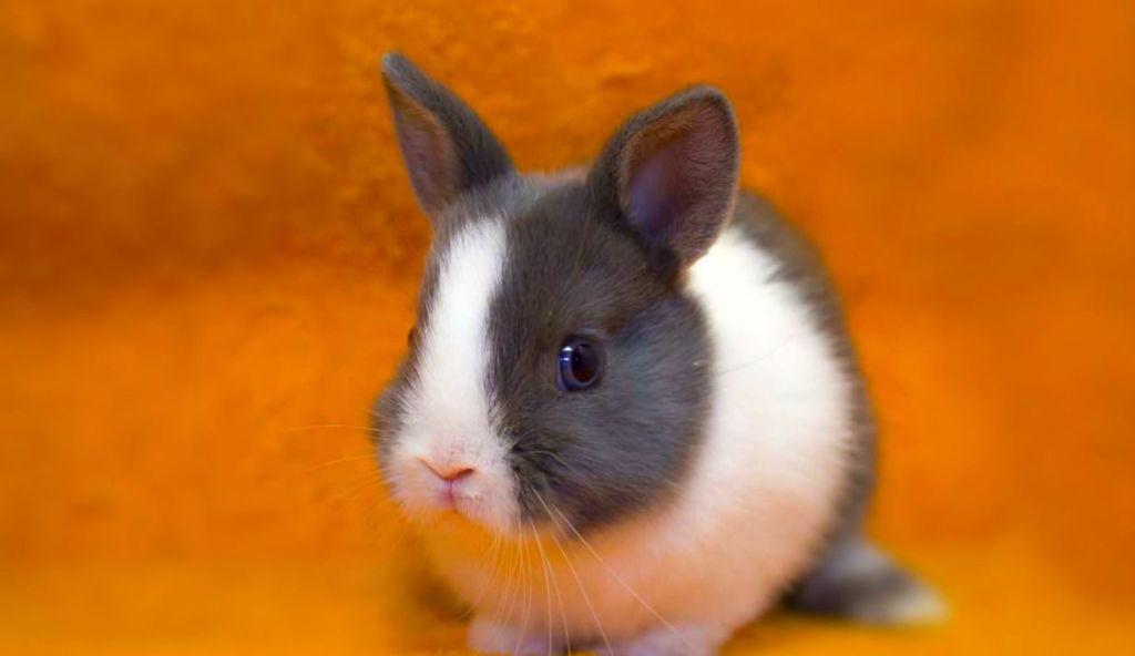Голландский карликовый кролик