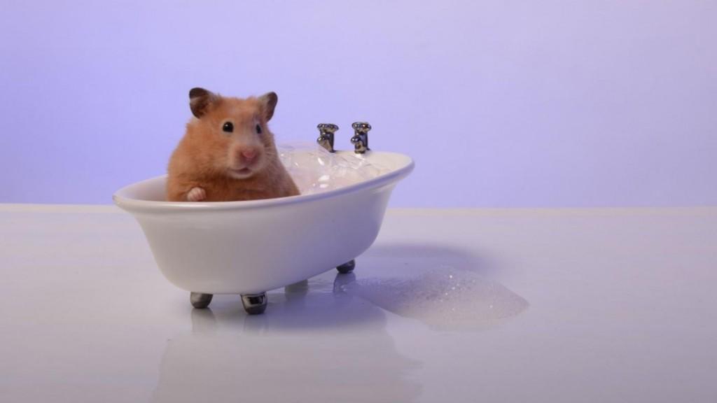 Можно ли мыть хомяков и основные рекомендации по уходу