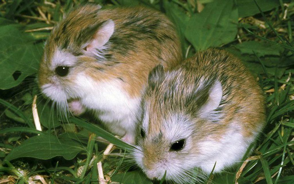 Хомяки роборовского - одни из самых маленьких