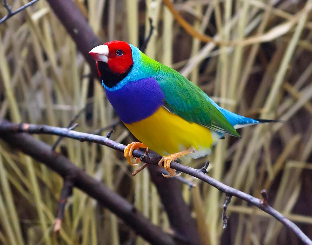 Птица Амадина